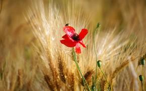 Picture flower, red, one, Mac, rye, Maki, ears, bokeh