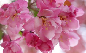 Picture macro, flowers, spring, pink