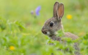 Picture rabbit, ears, face, bokeh