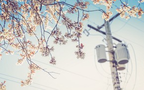 Picture flower, cherry, wire, plant, post, spring, electricity