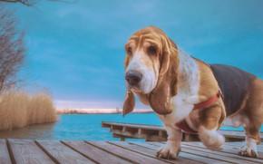 Picture water, dog, the bridge, The Basset hound