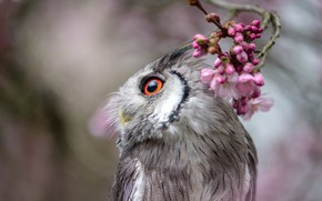 Picture eyes, look, flowers, nature, grey, background, owl, bird, portrait, blur, branch, spring, pink, flowering, bokeh, …