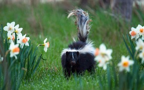 Picture greens, grass, look, flowers, nature, pose, Park, dirty, garbage, spring, garden, tail, walk, skunk, daffodils