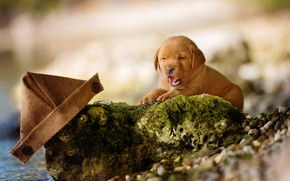Picture language, nature, pebbles, stones, background, shore, dog, small, baby, puppy, lies, buttons, boat, Labrador, brown, …