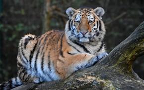 Picture look, tiger, pose, portrait, lies, snag, log, tiger, young, tiger