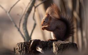 Picture branches, stump, protein, tail, profile, bokeh