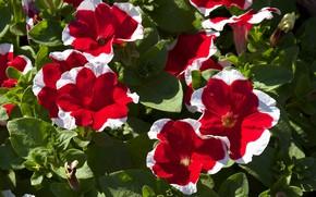 Picture red, flowering, petunias