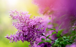 Picture nature, Bush, branch, spring, garden, lilac