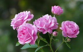 Picture background, roses, petals, pink, buds