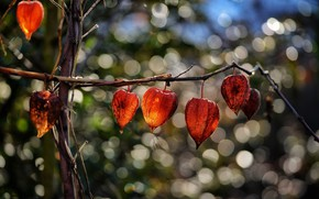 Picture light, nature, bright, branch, orange, flowers, physalis, bokeh, boxes