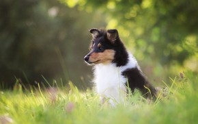 Picture grass, nature, glade, dog, puppy, sitting, bokeh, collie