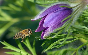 Picture greens, flower, leaves, macro, bee, lilac, pollen, spring, insect, bee, cross
