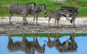 Picture reflection, the herd, Zebra