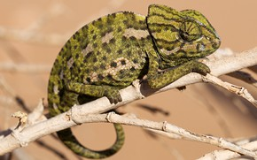 Picture eyes, look, pose, green, chameleon, background, legs, branch, spotted, reptile