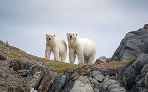 Picture Canada, polar bears, Национальный парк Торнгат Маунтинс
