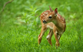 Picture greens, grass, look, leaves, nature, glade, deer, baby, muzzle, fawn, spotted, fawn, white-tailed deer