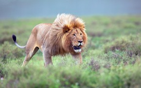 Picture field, grass, Leo, mouth, walk