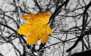 Picture autumn, branches, sheet, maple