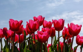 Picture the sky, petals, tulips