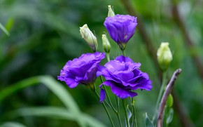Picture leaves, flowers, purple, buds, green background, lilac, bokeh, eustoma