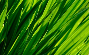 Picture greens, grass, macro