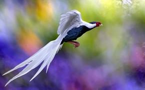 Picture flight, bird, tail, bright colors, bokeh, bright plumage, exotic, rainbow background, синяя с белым