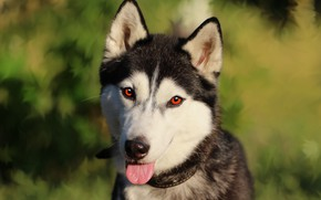 Picture language, look, each, dog, husky