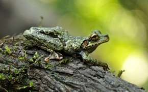 Picture look, macro, pose, background, tree, frog, bark, bokeh, spotted, wood, patterned, dendrobates, gray-green