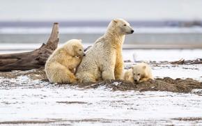 Picture winter, sand, white, look, snow, nature, children, pose, shore, bear, bears, three, snag, bears, polar …
