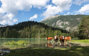 Picture mountains, lake, Switzerland, cows, Alps