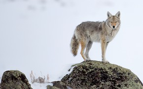 Picture winter, snow, pose, stone, wolf, coyote