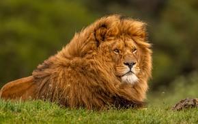 Picture look, face, pose, portrait, Leo, mane, lies, wild cat