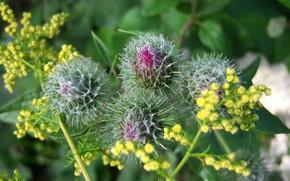Picture macro, flowers, buds, agrimony, Mamala ©, lapuh
