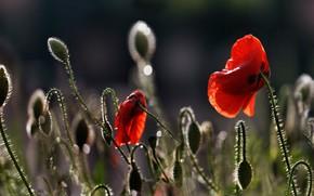 Picture drops, light, flowers, glare, the dark background, Mac, Maki, red, buds, bokeh