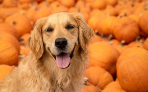 Wallpaper language, look, face, dog, pumpkin, Golden Retriever, Golden Retriever