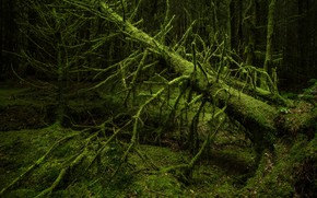 Picture trees, moss, forest