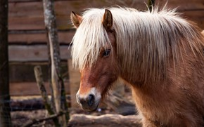 Picture look, face, horse, horse, portrait, mane, pony, chestnut, bangs, Bay, stall, tanned blonde