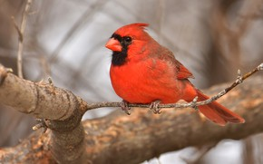 Picture branches, tree, bird, bokeh, cardinal, red cardinal