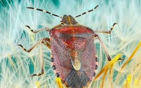 Picture macro, background, dandelion, beetle, fluff, insect, the parachutes, colorful, bug, bug