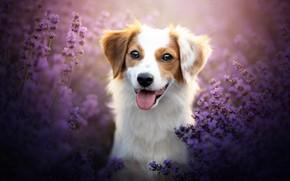 Picture language, look, face, flowers, dog, lavender, bokeh