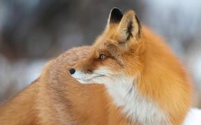 Picture winter, look, face, snow, pose, portrait, Fox, profile