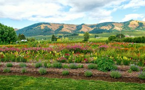 Picture forest, the sky, clouds, trees, flowers, mountains, field, USA, Oregon, plantation, Hood River