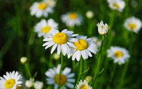 Picture greens, summer, grass, drops, flowers, Rosa, chamomile, white, green background, bokeh