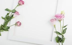 Picture white, flowers, background, frame, decor, eustoma