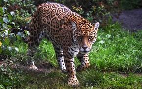Picture look, face, nature, Jaguar, sneaks