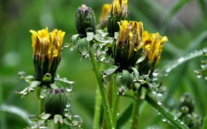 Picture wet, drops, spring, meadow, dandelions, buds