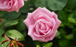 Picture leaves, flowers, Bush, roses, garden, gentle, pink, buds