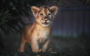 Picture grass, look, lion