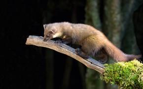Picture branch, animal, marten, fur