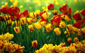 Picture flowers, bright, yellow, tulips, red, flowerbed, different, bokeh